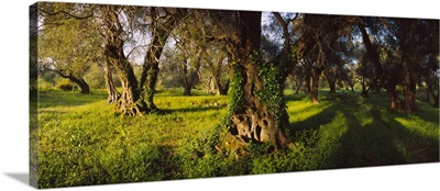 Olive trees on a landscape, Corfu, Ionian Islands, Greece