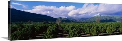 Orange Orchard Filmore CA
