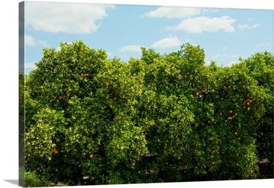 Orange trees in an orchard, Santa Paula, Ventura County, California