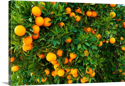 Oranges on a tree, Santa Paula, Ventura County, California II