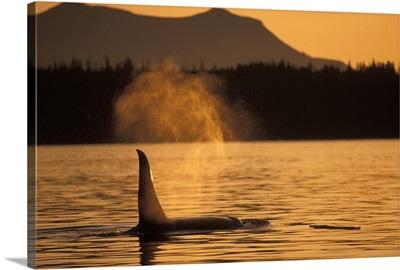 Orca Killer Whale Vancouver Canada