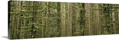 Oregon, Silver Falls State Park, Trees in the tropical dense forest