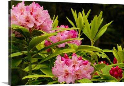 Pacific Rhododendron Flowers (Rhododendron Macrophyllum) In Bloom