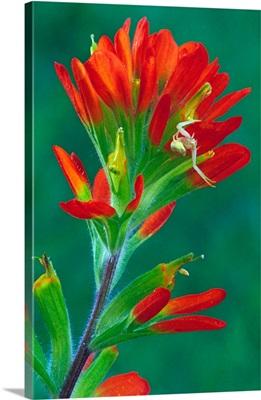 Paintbrush flower in bloom, close up, Michigan