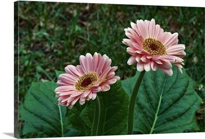 Pair of gerbera daisy flowers blooming, close up.