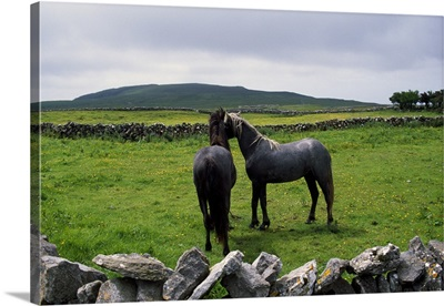 Pair of horses in rock fence-lined pasture, rural Ireland.