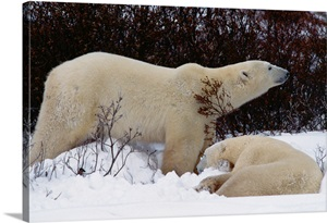 Pair Of Polar Bears Eating Berries And Lying Down Canada