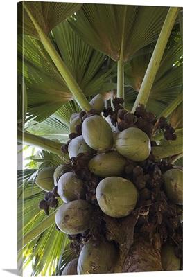 palm tree in a botanical garden, Victoria, Mahe Island, Seychelles