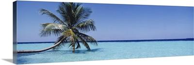 Palm tree Maldives
