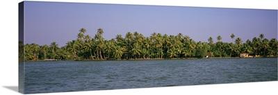 Palm trees along a lake, Vembanad Lake, Kerala, India