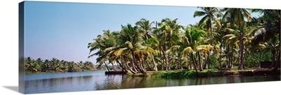 Palm trees along a river, Kerala, India