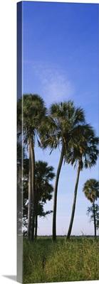 Palm trees on a landscape, Myakka River State Park, Sarasota, Florida