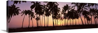 Palm trees on the beach, Puu Honua O Honaunau, Hawaii
