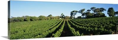 Panoramic view of vineyards, Margaret River, Western Australia, Australia