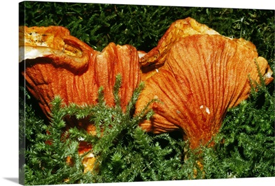 Parasitic Lobster Mushrooms (Hypomyces Lactifluorum)