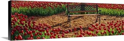 Park bench surrounded by Tulips, Grand Rapids, Michigan
