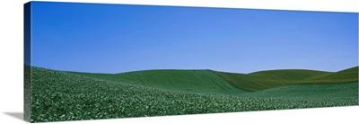 Pea field on a rolling landscape, Whitman County, Washington State