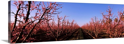 Peach trees in an orchard, Central Valley, California,