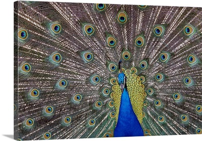 Peacock bird displaying feathers, portrait.