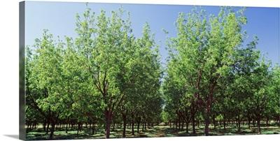 Pecan trees Tularosa NM