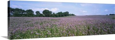 Phacelia flowers in a field, Germany