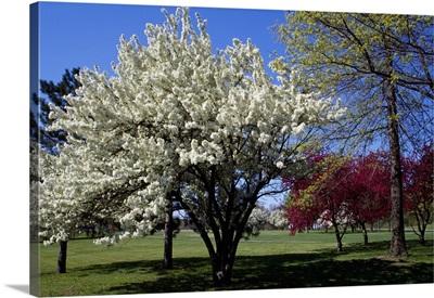 Pin cherry tree (Prunus pennsylvanica) blooming, New York