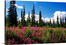 Pink fireweed flowers blooming in forest clearing, Alaska
