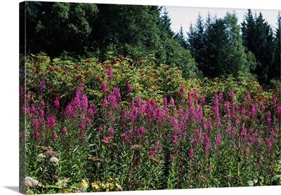 Pink fireweed wildflowers (Epilobium angustifolium) in bloom, Alaska