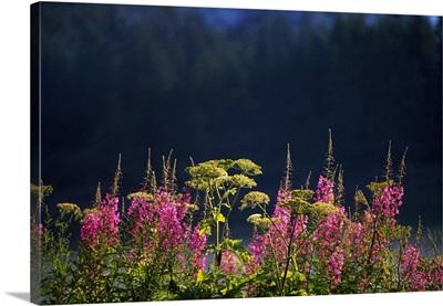 Pink fireweed wildflowers (Epilobium angustifolium) in bloom, selective focus, Alaska