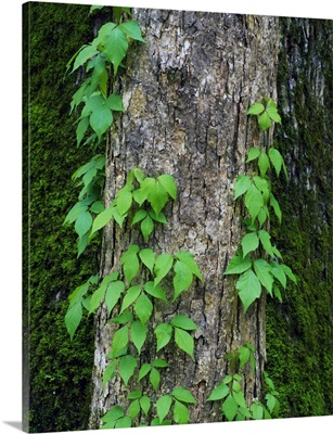 Poison ivy vine on tree trunk, Kistachie National Forest, Louisiana