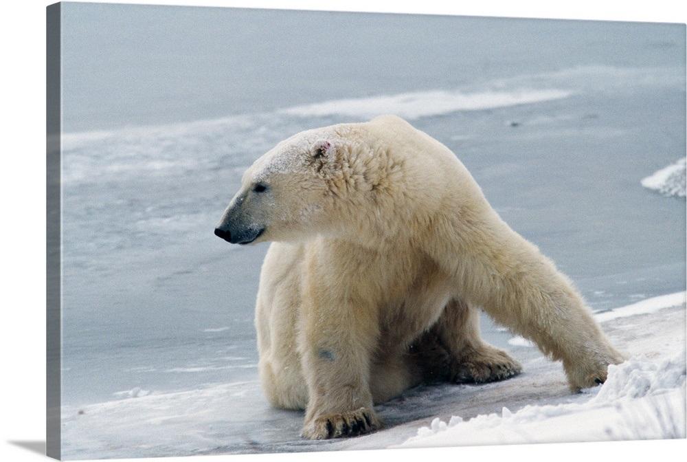Polar Bear Sitting On Ice Canada Wall Art Canvas Prints