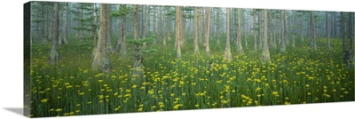 Pond, Cypress Trees, Tall Milkwort Plants, Flowers, Antioch Church Bay, North Carolina