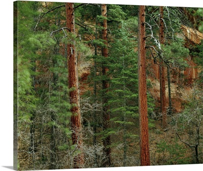 Ponderosa pine trees in Oak Creek Canyon, Coconino National Forest, Arizona