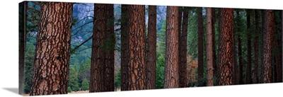 Ponderosa Pines in Yosemite National Park California