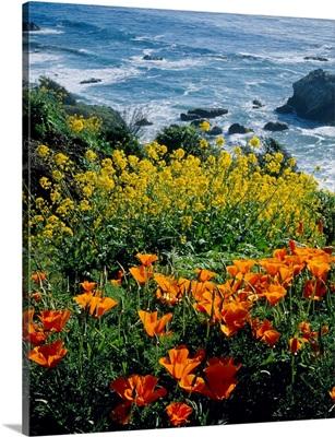Poppies along Coast CA
