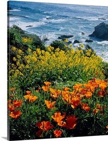 Poppies along Coast CA