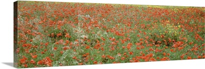 Poppies growing in a field, Sicily, Italy