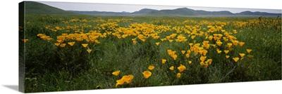 Poppies in a field, Carrizo Plain, San Luis Obispo County, California