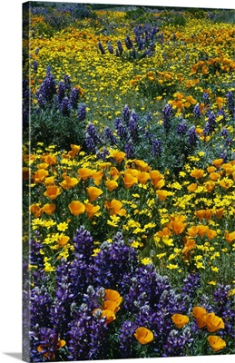 Poppy and lupine flowers blooming in field, California
