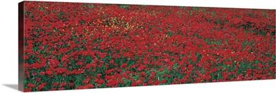 Poppy Field Tuscany Italy