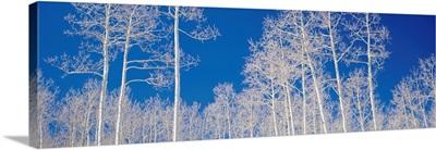 Quaking Aspen Trees in Winter UT