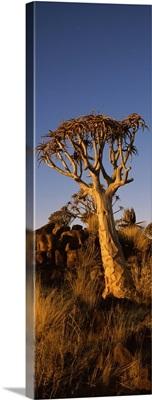 Quiver tree Aloe dichotoma at sunset Namibia