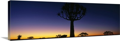 Quiver Tree Kokerboom Forest Preserve Namibia Africa