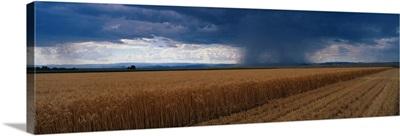 Rain on Wheat Fields CO