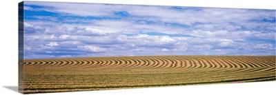 Raked alfalfa fields Pasco WA