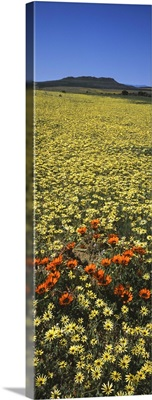 Red and yellow Daisies in a field, Niewoudtville, Namaqualand, South Africa