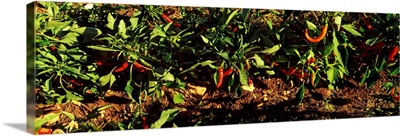 Red chili peppers growing on plants, Itria Valley, Puglia, Italy