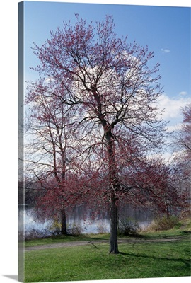 Red maple tree (Acer rubrum) budding in spring, New York