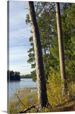 Red pine trees growing along Lake Itaska, Itaska State Park, Minnesota