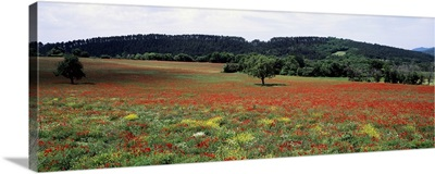 Red poppies in the field, Provence, Provence-Alpes-Cote d'Azur, France